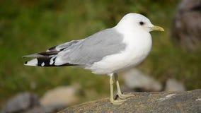 镇静地站立在海岸冰砾的美丽的海鸥在夏天阳光下 股票视频