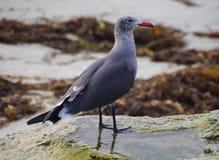 镇静地站立在潮汐水池的红钩形的海鸥特写镜头 免版税库存照片
