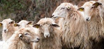 镇静看其中每一的冬天久的羊毛头发绵羊 免版税库存照片