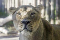 镇静神色的雌狮 库存照片
