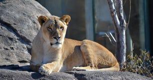 镇静雌狮 免版税图库摄影