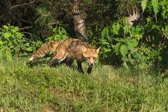 镍耐热铜泼妇(狐狸狐狸)爬行在森林外面 库存照片