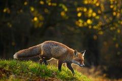 镍耐热铜,狐狸狐狸,在绿草森林的动物在秋天期间 Fox在自然栖所 与好的lig的美丽的晚上太阳 免版税库存图片
