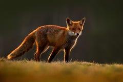 镍耐热铜,狐狸狐狸,在绿色森林的美丽的动物有花的,在自然栖所,平衡与好的光的太阳,日落, 免版税库存照片