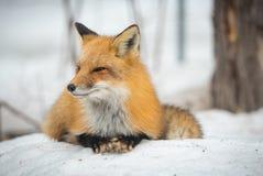 镍耐热铜-狐狸狐狸,健康标本在他的栖所在森林 免版税库存照片