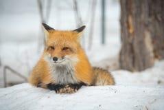 镍耐热铜-狐狸狐狸,健康标本在他的栖所在森林 免版税库存图片