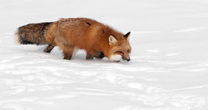 镍耐热铜(狐狸狐狸)小跑-与拷贝空间 免版税库存照片