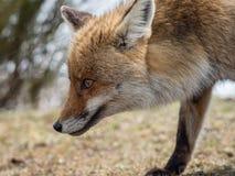 镍耐热铜(狐狸狐狸)画象 免版税库存图片