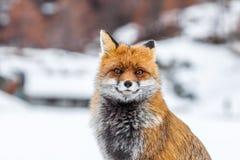 镍耐热铜& x28; 狐狸vulpes& x29;在雪 库存照片