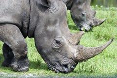镜子犀牛 免版税库存照片