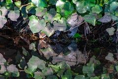 镜象水反射作为一只灰色灰鼠喝从河的水,掩藏在植被下 免版税库存图片