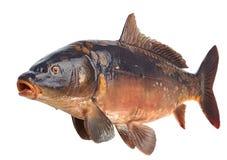 镜鲤河鱼 库存图片
