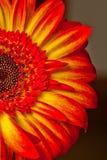 镶有钻石的旭日形首饰的大丁草花 免版税库存图片