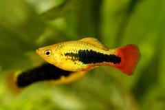 镶有钻石的旭日形首饰的无尾礼服新月鱼男性Xiphophorus maculatus热带水族馆鱼 库存照片