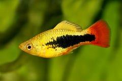 镶有钻石的旭日形首饰的无尾礼服新月鱼男性Xiphophorus variatus热带水族馆鱼 库存图片