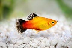 镶有钻石的旭日形首饰的新月鱼男性Xiphophorus maculatus热带水族馆鱼 库存照片