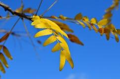 镶有钻石的旭日形首饰的皂荚树树黄色秋叶  免版税库存照片
