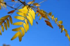 镶有钻石的旭日形首饰的皂荚树树黄色秋叶  库存照片