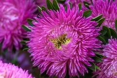 镶褶边的桃红色翠菊在夏天庭院里 免版税库存图片
