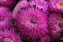 镶褶边的桃红色翠菊在夏天庭院里 库存照片