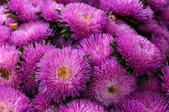 镶褶边的桃红色翠菊在夏天庭院里 免版税库存照片