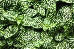 镶边叶子园林植物关闭  免版税库存图片