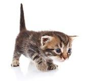 镶边小猫哭泣 库存照片