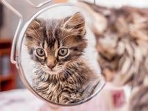 镶边小猫在镜子看并且敬佩它的beauty_ 免版税库存图片