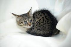 镶边小猫 免版税图库摄影