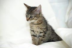 镶边小猫 库存图片