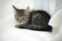 镶边小猫 免版税库存照片