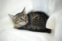 镶边小猫 免版税库存图片