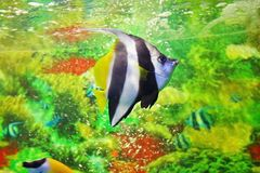 镶边海洋蝴蝶鱼-信号旗coralfish 免版税库存照片
