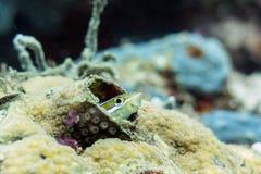镶边犬齿粘鱼-婆罗洲,马来西亚 库存照片