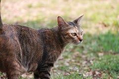 镶边猫在庭院里 猫是与软的毛皮的一只小被驯化的肉食哺乳动物 免版税库存照片