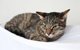 镶边猫在绝尘室坐 免版税库存照片