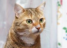 镶边猫看充满惊奇的所有者 库存照片