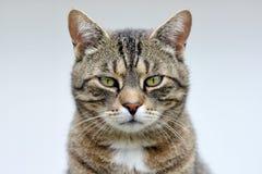 镶边猫纵向 免版税库存照片