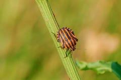 镶边甲虫在草-特写镜头上升 图库摄影