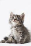 镶边的小猫 免版税图库摄影