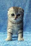 镶边的小猫 免版税库存图片