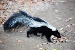镶边的恶臭臭鼬 兰乔圣安东尼奥县公园,加利福尼亚 免版税库存图片