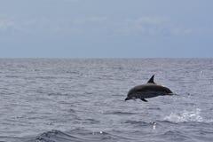 镶边的海豚 库存照片