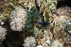 镶边的蓝色dottyback pseudochromis springeri 库存图片