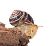 镶边的蜗牛 库存照片