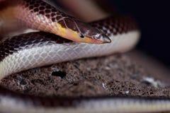 镶边纤管装管嘴的蛇Xenocalamus双色的lineatus 免版税库存照片