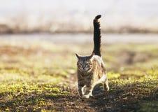 镶边美丽的猫在ga的一条晴朗的春天路快速地跑 免版税库存照片