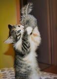 镶边蓬松三色小猫 库存照片