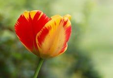 镶边郁金香在庭院里 库存图片