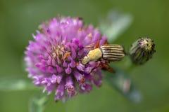 镶边金龟子甲虫和三叶草花 库存图片